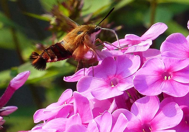 Photo of an insect hovering beside pink flowers by Gerald Markhoff