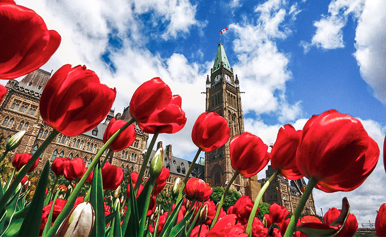 Canadian Tulips in front of Parliament Hill